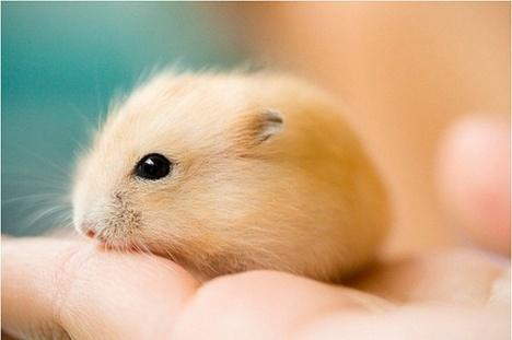宠物:仓鼠,萌萌的,小动物